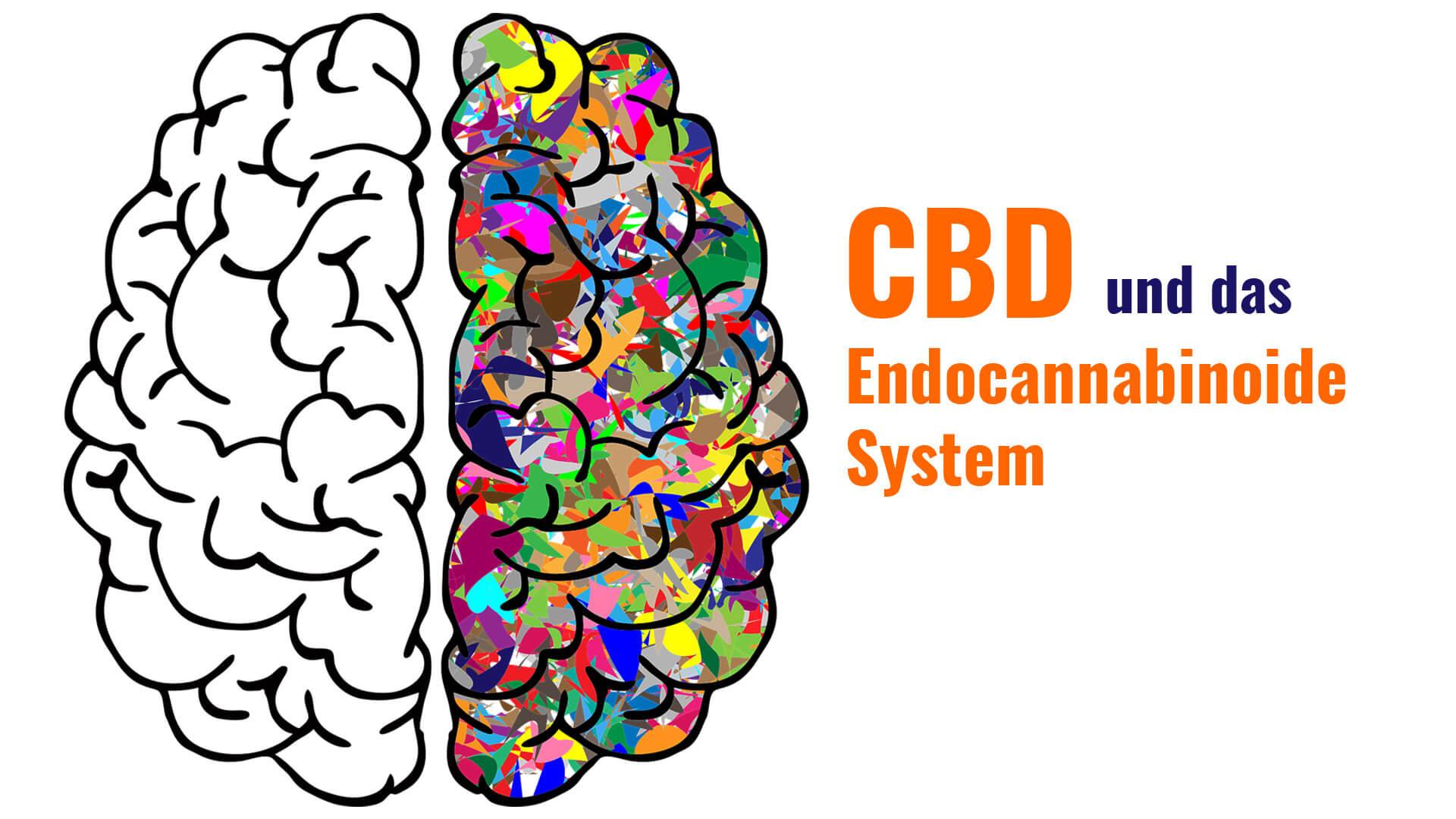 CBD und das Endocannabinoide System des Menschen